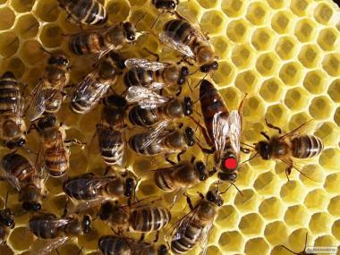Продам плодные пчеломатки (матки, карпатка) карпатской породы