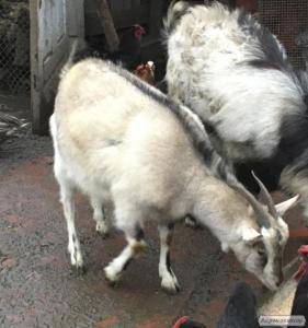 Продам козу, козочку кітну, 10 мес