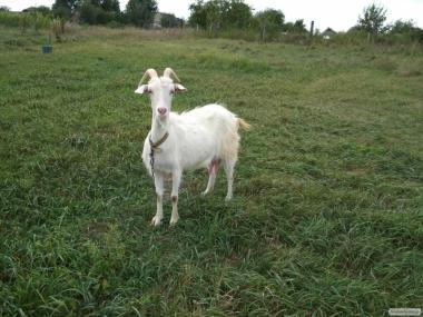 Продається коза англо-нубийка ламанч