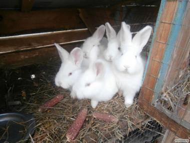 Продам крольчат породы НЗБ, Бургундцы, смешанные.