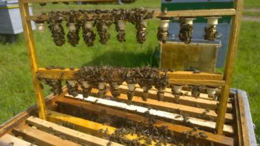 Бджоломатки тип вучковський і місцеві