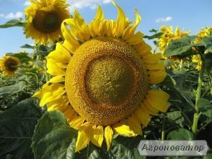 Насіння соняшника гібрид ЗЛАТСОН (F1) від виробника.