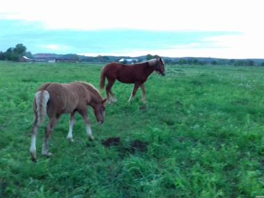 Продам лошадей тяжеловозов з документами
