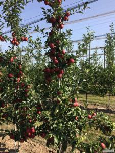 Продаж яблук врожаю 2017