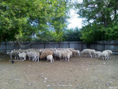 продам вівці.