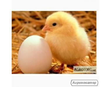 Продам курчат і яйця інкубаційні породи АДЛЕР
