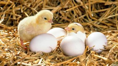 Яйцо инкубационное куриное «ДОМИНАНТ ЦЗ»