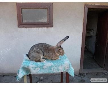 Пропоную кроликів породи фландр і віденс. голубий.