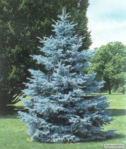Пропоную саджанці декоративних дерев і чагарників.