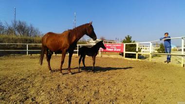Срочно продам лошадь - кобылу с жеребенком