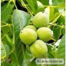 Саджанці волоського горіха