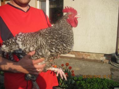 Продам курчата й інкубаційне яйце Мехеленская зозуля