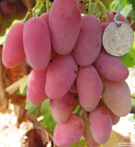 Щеплені саджанці винограду