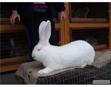 Кролики, крольчатина продажа