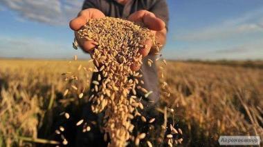 Куплю - пшениця, соя, ріпак, ячмінь, насіння Дорого