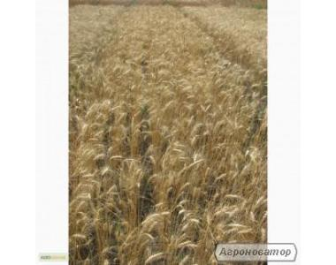 Насіння озимої пшениці - сорт Солоха. Еліта та 1 репродукція