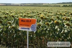 Семена подсолнечника МАС 83 Р (MAISADOUR)