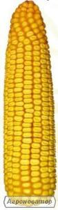 Насіння кукурудзи Данило