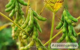 Продається насіння сої Раундапостійкої