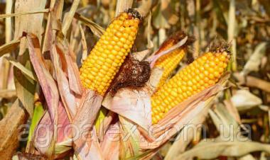 Гран 220 гібрид кукурудзи ВНІС