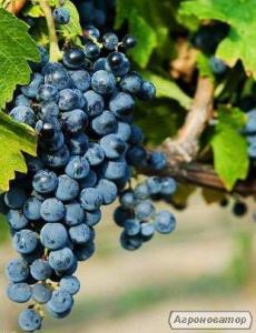 Натуральное вино ОДЕССКИЙ ЧЕРНЫЙ