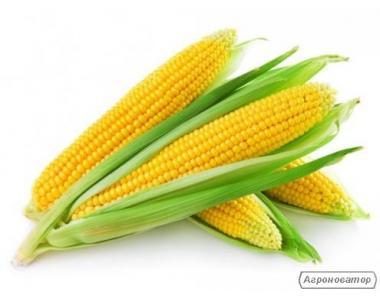 Насіння кукурудзи гібриду Дніпровський 257 СВ