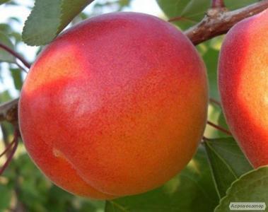 Cаженцы абрикоса и нектарина