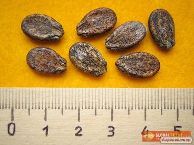 Продам насіння кавунів в асортименті, опт та роздріб