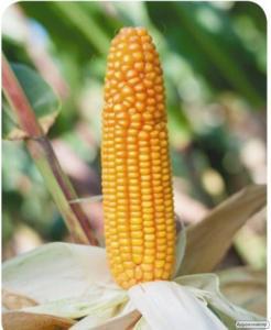 Семена кукурузы ДОСТАТОК 300 MB