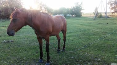 Животные > Лошади > Верховые лошади