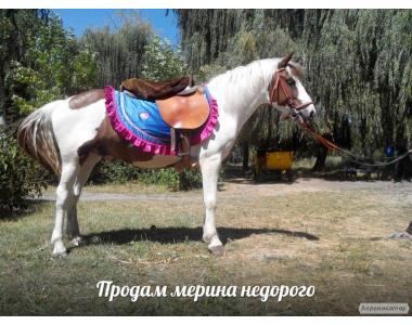 Продам пегого мерина с голубыми глазами в Крыму, Симферополь