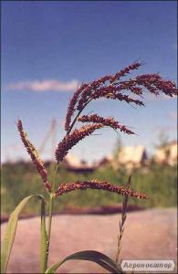 Продам насіння проса