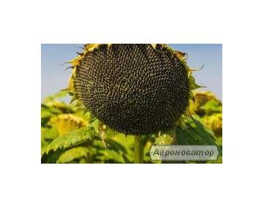 Насіння соняшнику 85 МАС SY (Maisadour)