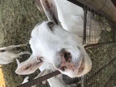 Продам коз породы Заанської