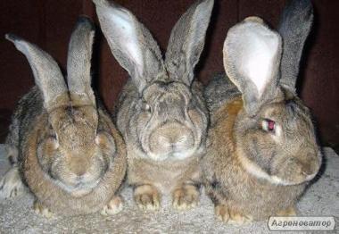 Продам кролів Фландер