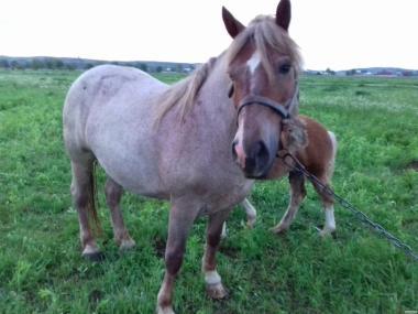 Терміново продам коней ваговозів