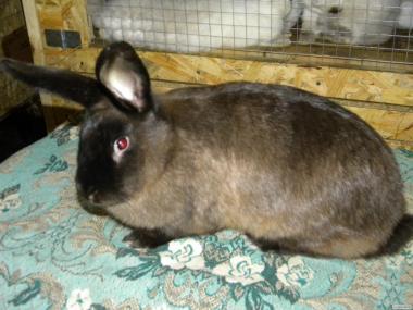 Продаються кролі породи : Радянський Мардер