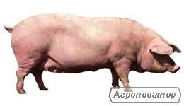 Свиноматки выбракова, свині (Доставка Харків, обл , безкоштовно)