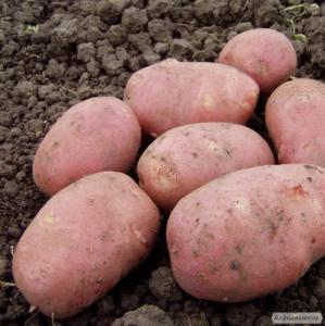 Продам велику картоплю (2,5 грн/кг): сорт Рокко і Євростар