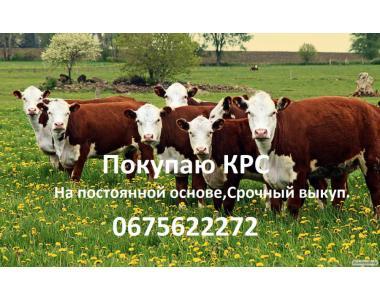 Бички ВРХ бики