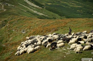 продам вівці породи гірськокарпатської