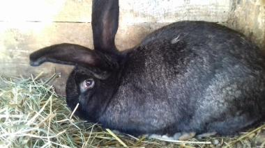 продам или обменяю кроликов породы серый великан