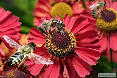 Продам пчелосемьи,пчелопакеты.