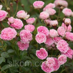 Роза почвопокровное The Fairy (Зе Фейри)