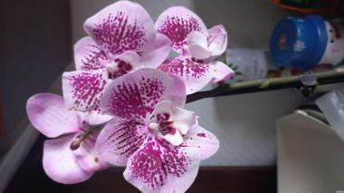 Орхидеи уценка