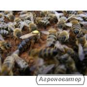 Племенные пчеломатки Карпатка