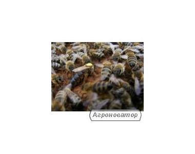 Племінні бджоломатки Карпатка