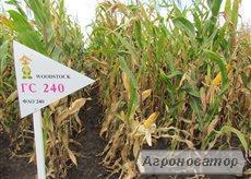 Семена кукурузы венгерской Вудсток – Гибрид Шаролта - ФАО 290