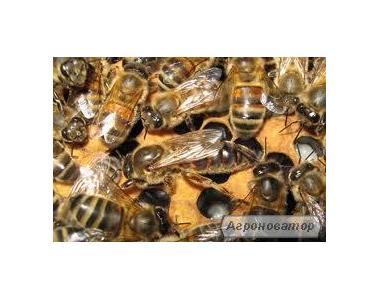 продам бджолосім ' ї,відводки