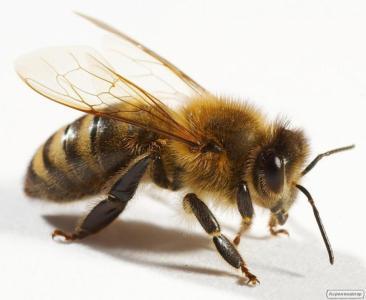 Матки бджолині УСПП